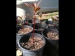 Growing Bacon Avocado Trees From Seed In Containers