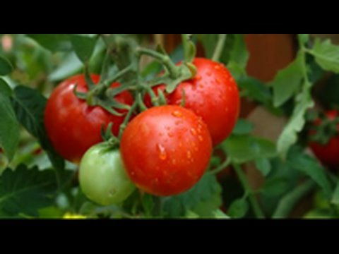 How to grow an organic vegetable garden