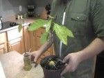 How To Grow Avocado Trees From Seed