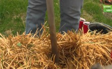 Planting Sweet Potato in Straw Bales